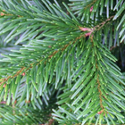 Hampshire Grown Christmas Trees from Country Market